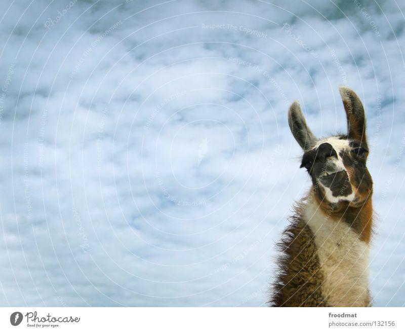 crisp Switzerland Animal Modest Arrogant Animalistic Llama Camel Pelt Bushy Clouds Funny Headstrong Sweet Pack animal Wool Frontal Mammal froodmat Ear Sky Blue