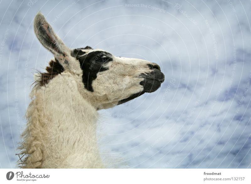 Sky Blue Clouds Animal Funny Nose Sweet Ear Pelt Switzerland Animalistic Neck Mammal Arrogant Wool Dappled