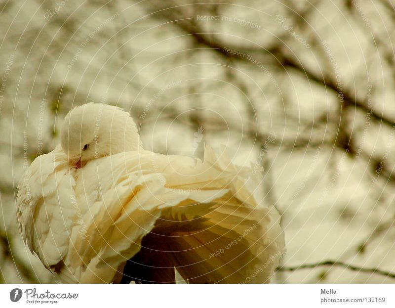 White dove Environment Nature Tree Animal Bird Pigeon 1 Pair of animals Cleaning Romance Peace Colour photo Exterior shot Day