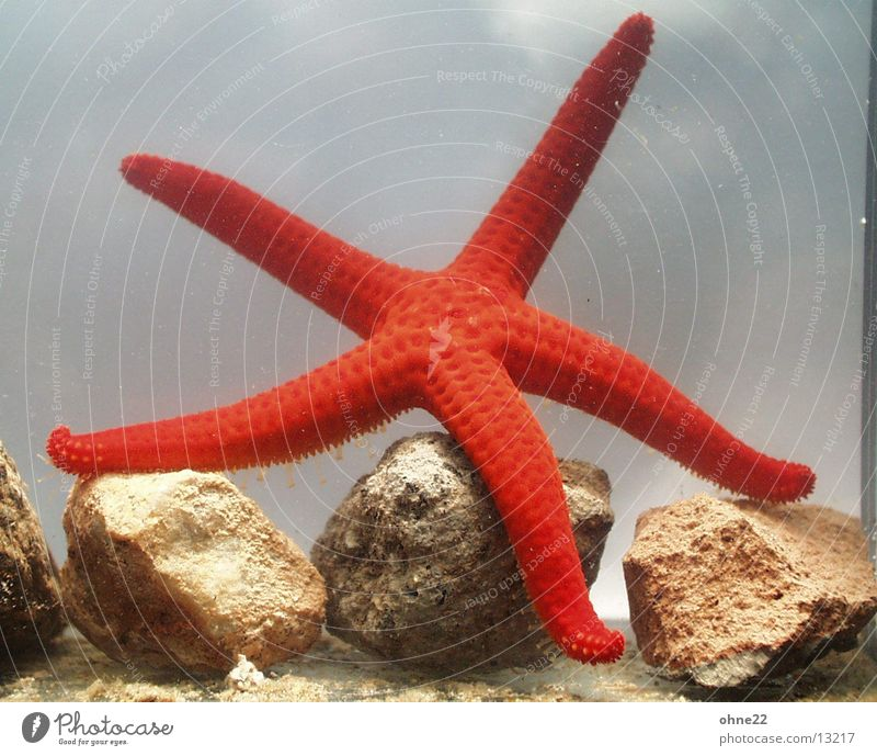 Red Aquarium Animal Starfish