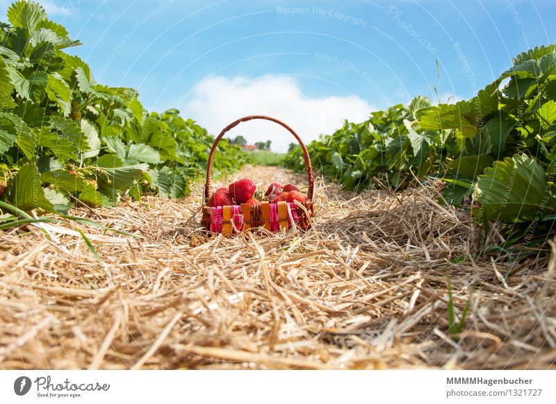A basket of strawberries Food Fruit Agriculture Forestry Plant Clouds Fresh Healthy Delicious Blue Brown Pink Red To enjoy Strawberry Basket Plantation Harvest