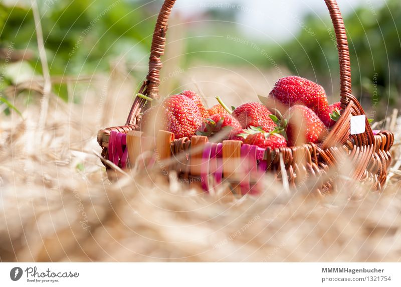 A basket of strawberries Food Fruit Agriculture Forestry Nature Plant Fresh Delicious Brown Red Spring fever To enjoy Healthy Strawberry Basket Plantation