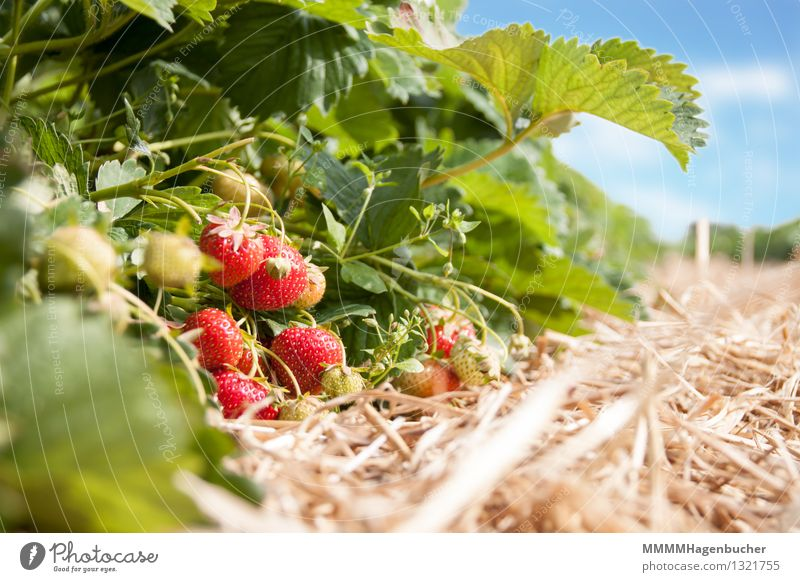 Fresh strawberries Food Fruit Agriculture Forestry Plant Clouds Healthy Delicious Sweet Blue Red To enjoy Strawberry Plantation Harvest strawberry plantation