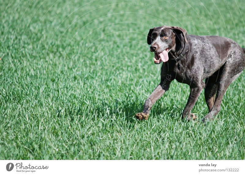 PAUL Hound Dog Hunter Animal Loyalty Best Air To go for a walk Elapse Brown Meadow Grass Judder Field Green Mammal Playing German Shorthair Hunting leave