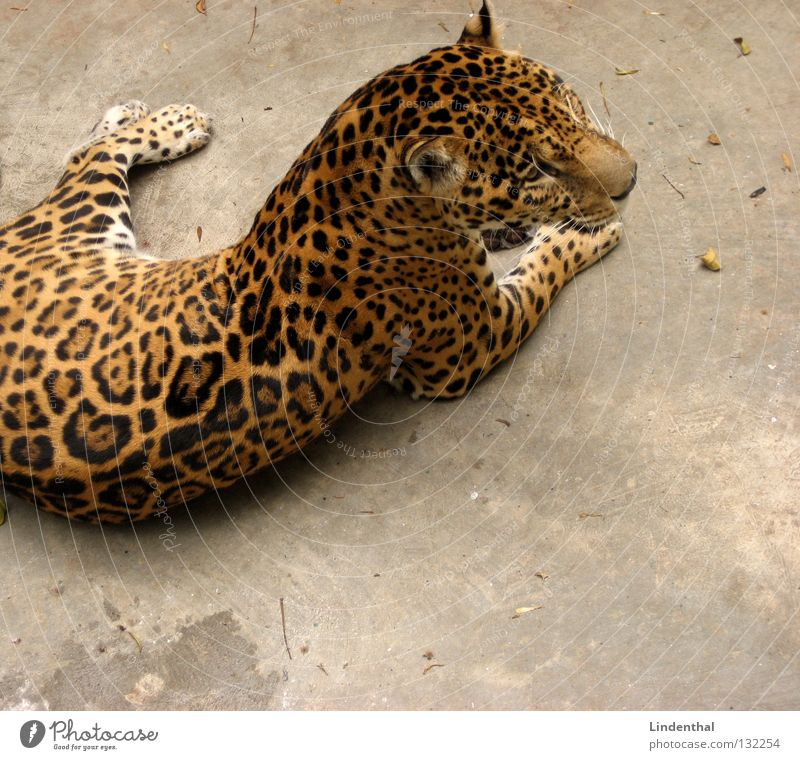 Cat Animal Calm Wait Lie Pelt Serene Mammal Tails Section of image Partially visible Panther
