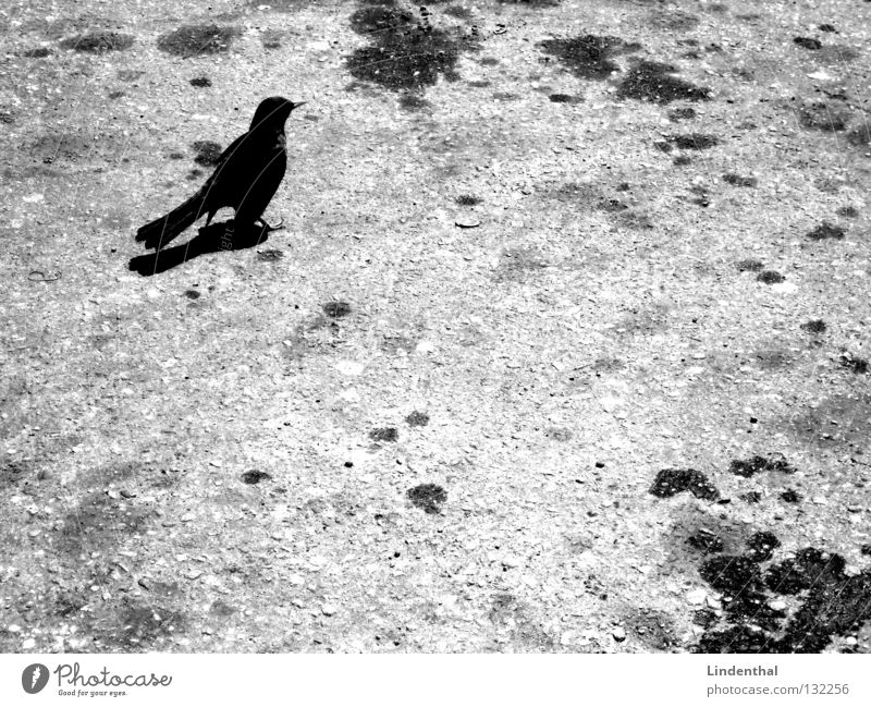 Blackbird on tar Bird Animal Raven birds Black-billed magpie Crow Stand Gasoline Tar White Gray Mammal Black & white photo Oil Patch bw B/W