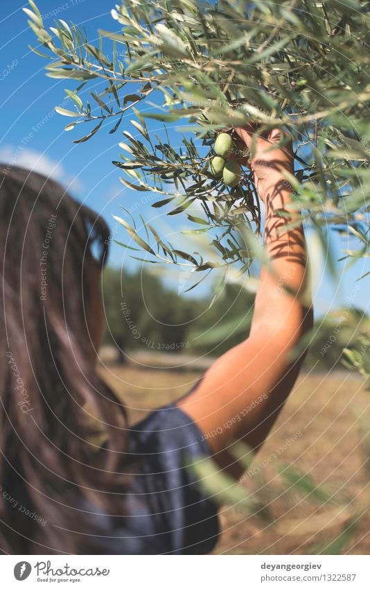 Hand holding olive tree branch. Human being Nature Plant Green Tree Leaf Garden Fruit Fresh Nutrition Italy Spain Vegetable Farm Harvest