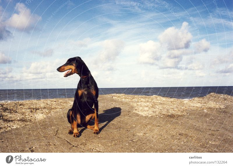 ALL MINE Doberman Dog Beach Ocean Waves Romp Posture Boast Mammal Coast Summer dober woman not a fighting dog cuddly dog Denmark Island dog beach
