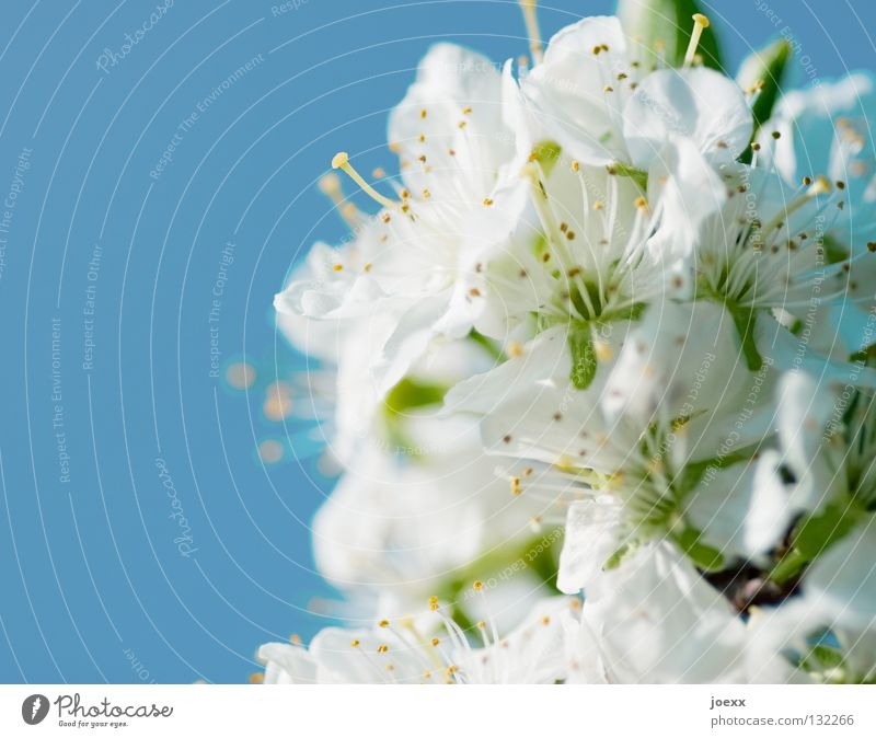 Early cherries Fertilization Bee Blossom Blossom leave Pistil Spring Sky blue Cherry blossom Deciduous tree Rose plants Summer Blur Transience Vacation & Travel