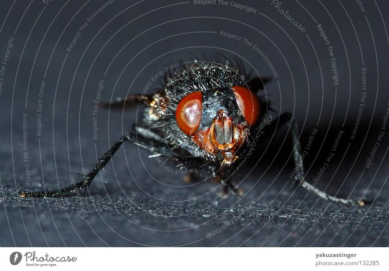 the Freak Show Macro (Extreme close-up) Close-up Parasite Insect Black Compound eye Bacterium Feeler Aircraft Fly