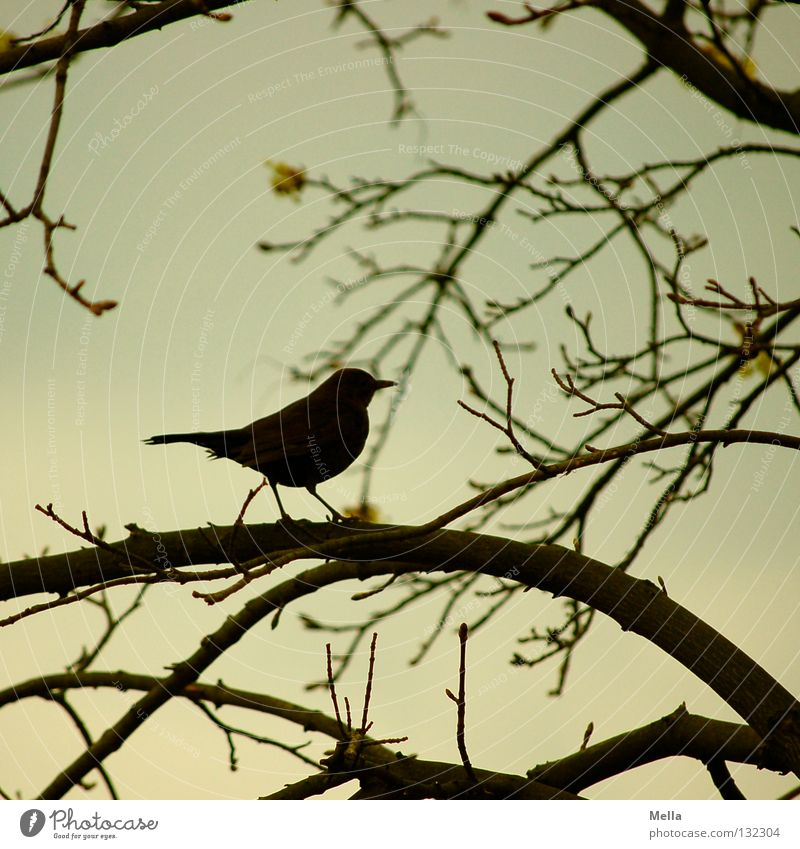 Nature Tree Plant Animal Bird Wait Environment Sit Natural Crouch Twigs and branches Blackbird