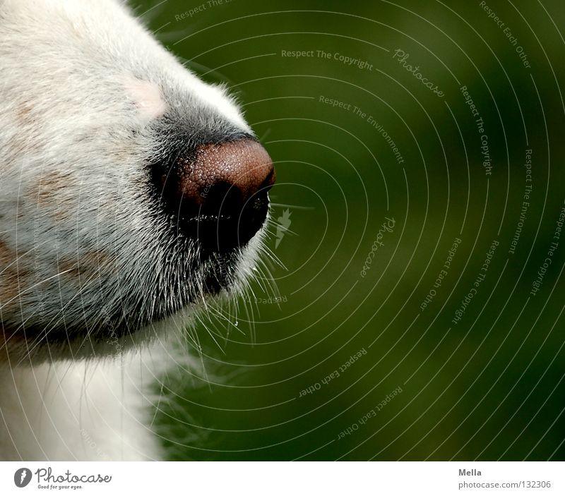 Good Riecher Animal Pet Dog Nose Snout 1 Green White Watchfulness Odor Senses Colour photo Exterior shot Close-up Detail Day
