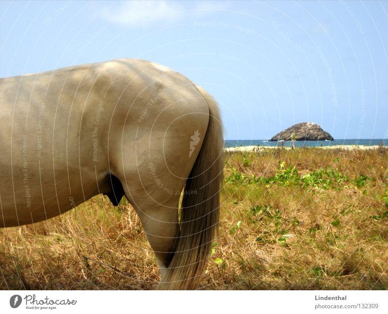 Ocean Beach Meadow Hair and hairstyles Legs Coast Horse Island Hind quarters Firm Mammal Tails