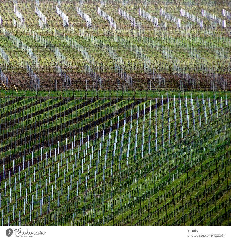 Viticulture in the Palatinate Vine Vorderpfalz Haardt expensive Huxel vine Wine growing Monoculture Vineyard Deserted