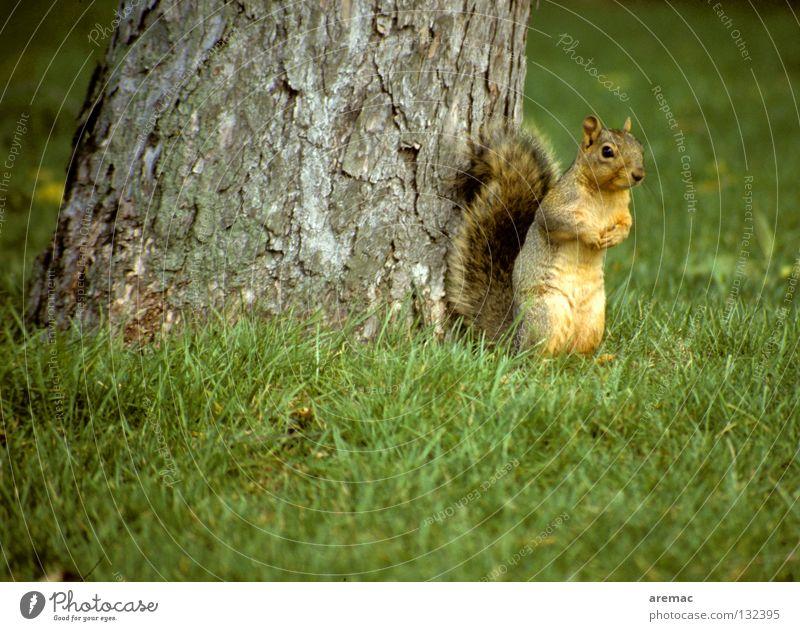 Ene mene cornerstone ... Squirrel Animal Mammal Grass Tree Cute Green Park Garden Hide fox squirrels Nature Stand