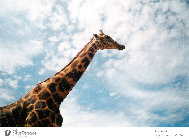 above the clouds Clouds Long Transport Giraffe Sky Patch Tall Neck