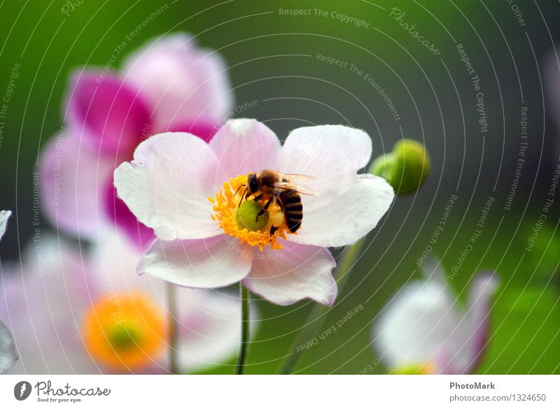 bees and flowers Environment Nature Plant Diligent Bee Flower Passion Blossom Insect Summer Beautiful weather Spring Work and employment Pollen Sprinkle Green