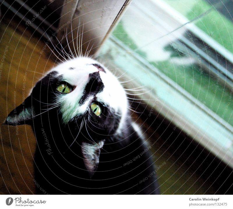 White Green Black Eyes Garden Hair and hairstyles Cat Door Ear Desire Longing Pelt Pet Mammal Parquet floor Domestic cat