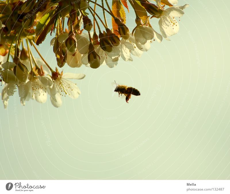 Summ, hum, hum ... Environment Nature Spring Plant Blossom Cherry blossom Animal Farm animal Bee 1 Blossoming Flying Natural Diligent Useful Colour photo