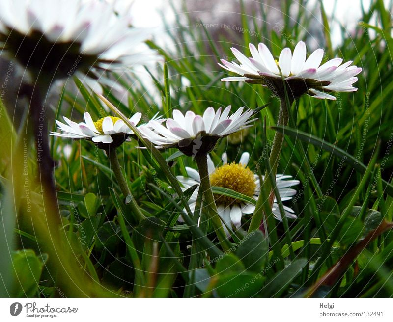 Close up of daisies in the meadow Flower Daisy Blossom Blossom leave Stalk Grass Meadow Park Blade of grass Under Worm's-eye view Side by side Long Thin White