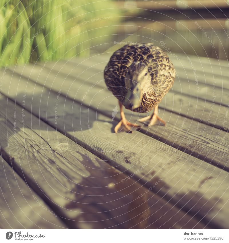 run.107 Nature Animal Wild animal Bird Duck Swimming & Bathing Walking Aggression Dangerous Stress Fear Argument Attack Aggressive Colour photo Close-up Detail