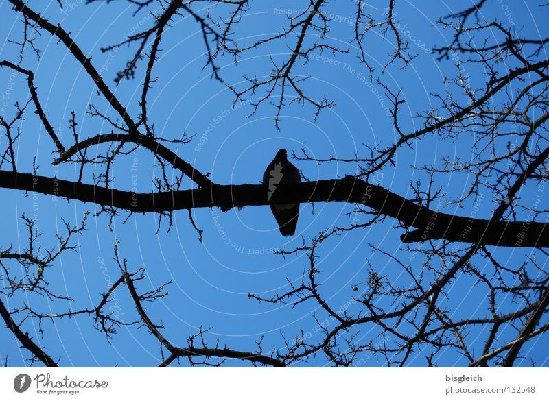 silence Colour photo Exterior shot Deserted Evening Contrast Worm's-eye view Calm Sky Tree Animal Bird Pigeon 1 Blue pigeon birds quiet Branch Twig