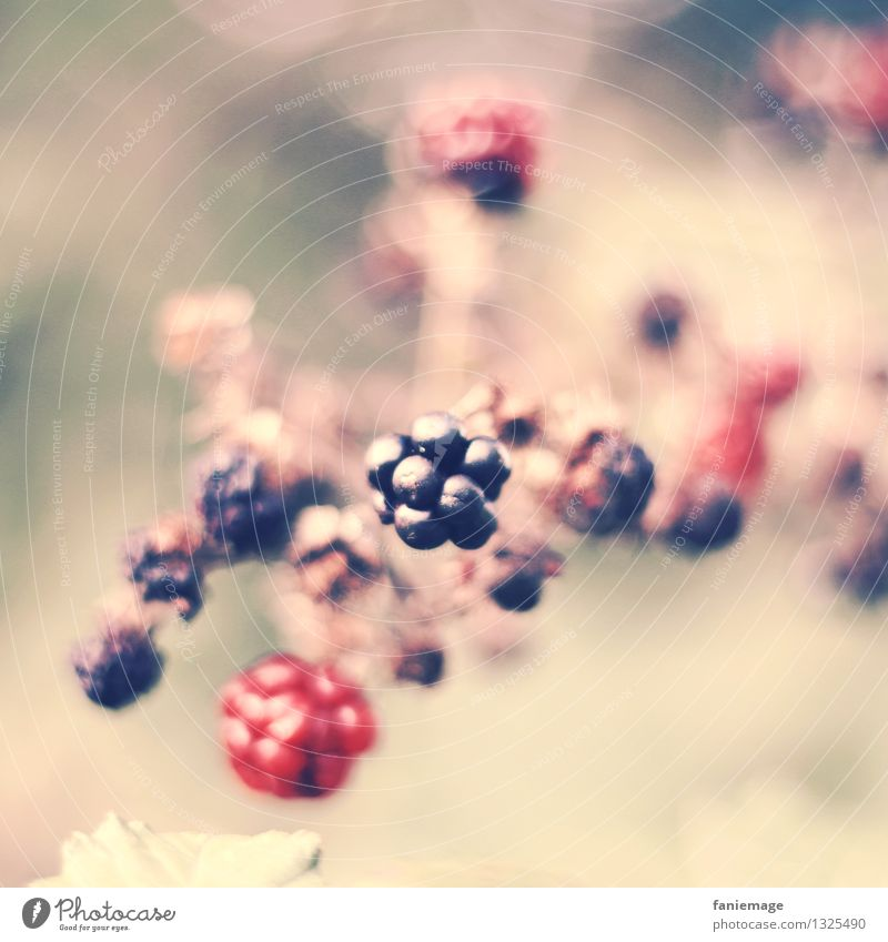 berry dream Nature Summer Autumn Bushes Delicious Blackberry bush Berries Fruit Healthy Healthy Eating Pink Gorgeous Middle Twig Twigs and branches Autumnal