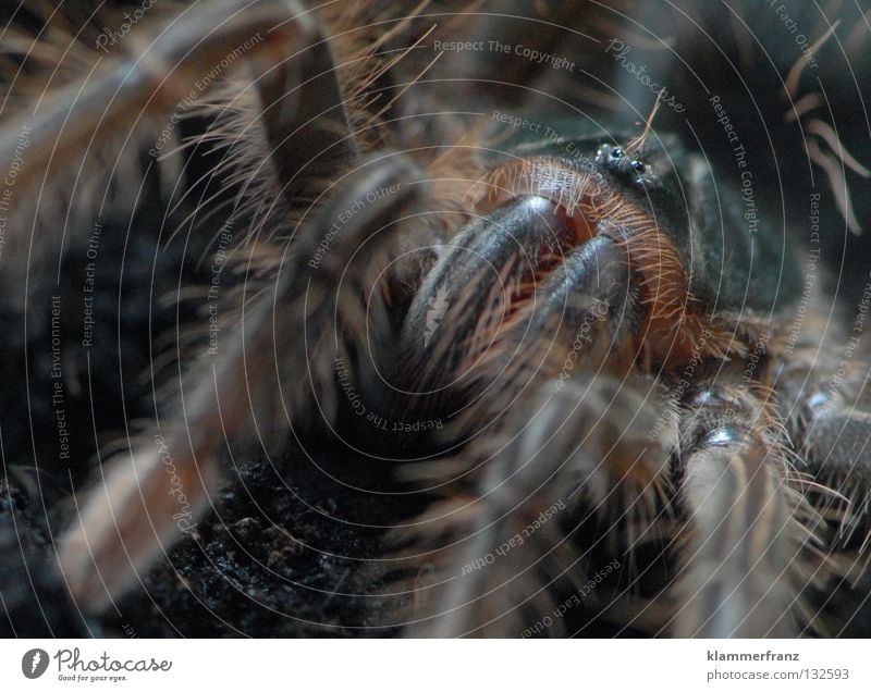 iiiiiiiiiiiiiiiiiiiiiiiiiiih Monster theraphosa Bird-eating spider Macro (Extreme close-up) giant bird-eating spider Detail Section of image Spider legs