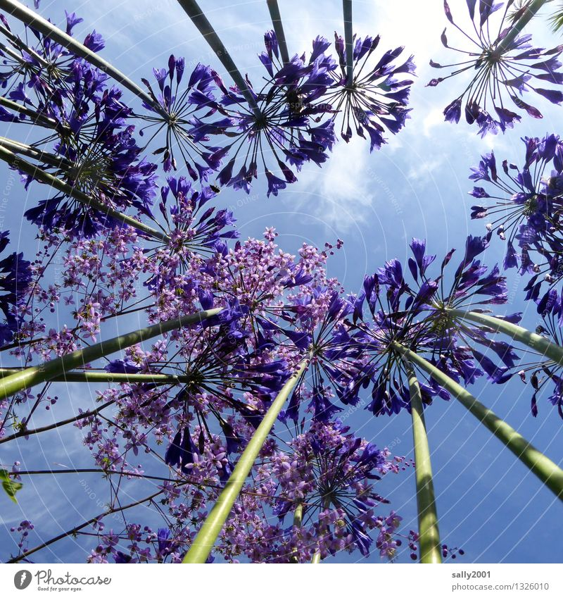 blue in blue... Plant Sky Beautiful weather Flower agapanthus decorative lily Garden Blossoming Illuminate Growth Esthetic Fragrance Natural Above Blue Violet
