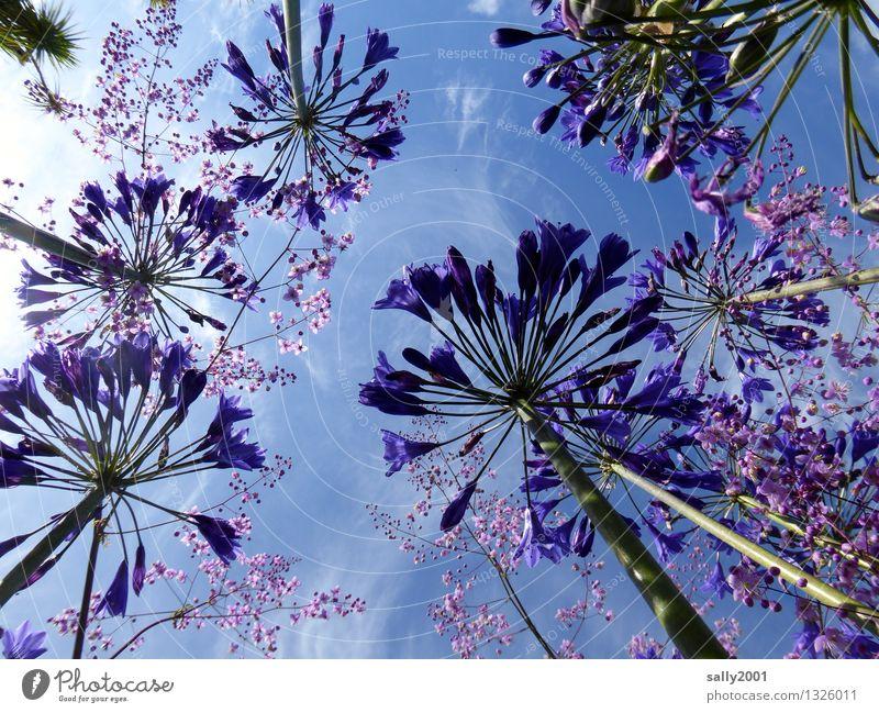 blue Plant Sky Summer Beautiful weather Flower agapanthus decorative lily Illuminate Growth Esthetic Large Above Blue Violet Blossoming Upward Skyward Fragrance