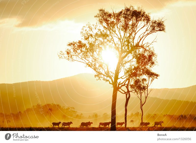 moo Meat Dairy Products Beef Agriculture Forestry Nature Landscape Sunrise Sunset Sunlight Tree Hill Pasture Australia Animal Farm animal Cow Cattle