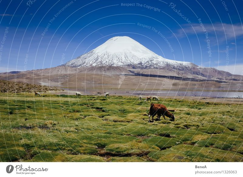Lauca Environment Nature Landscape Plant Animal Water Sky Cloudless sky Beautiful weather Grass Moss Foliage plant Wild plant Mountain Andes Volcano Parinacota