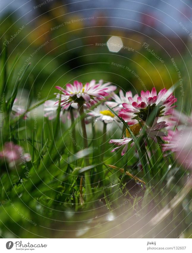 Goose blenny Daisy Flower Plant Meadow Green Spring Summer Blossom Grass Blur White Background picture Nature Lovely Delicate Soft Worm's-eye view Small Growth