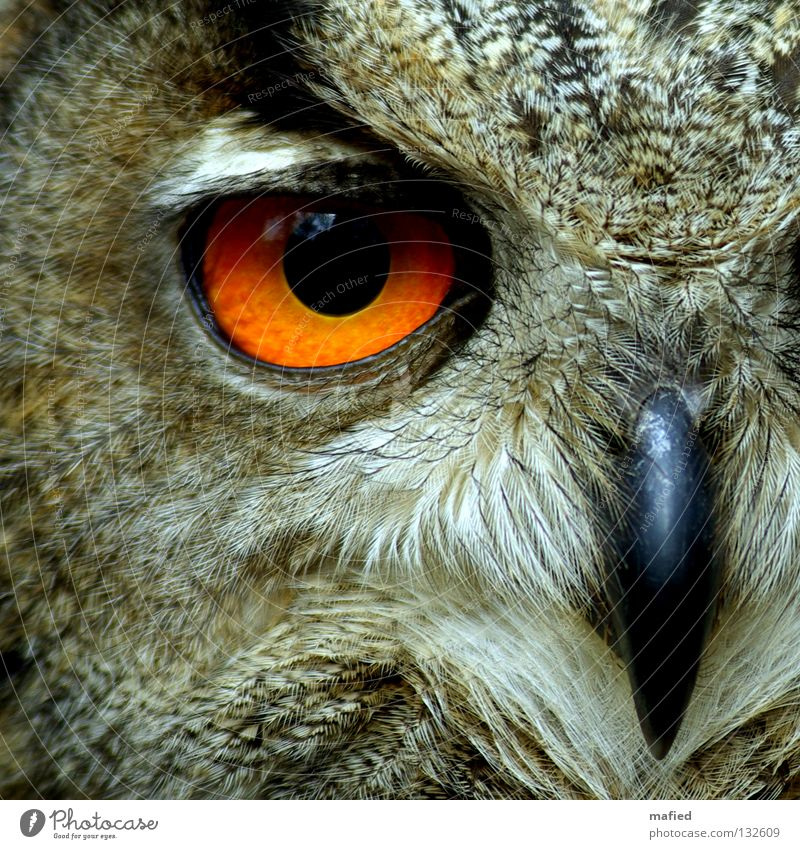 Eagle owl Calm Hunting Wild animal Bird Soft Brown Yellow Gray Black Peace Hunter Bird of prey Feather Sense of hearing Smoothness Game park Air show