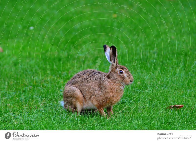 hare Animal Wild animal Hare & Rabbit & Bunny 1 Crouch extinction Threat rabbit Pelt To feed Grass hobble nibble Nature Colour photo Exterior shot