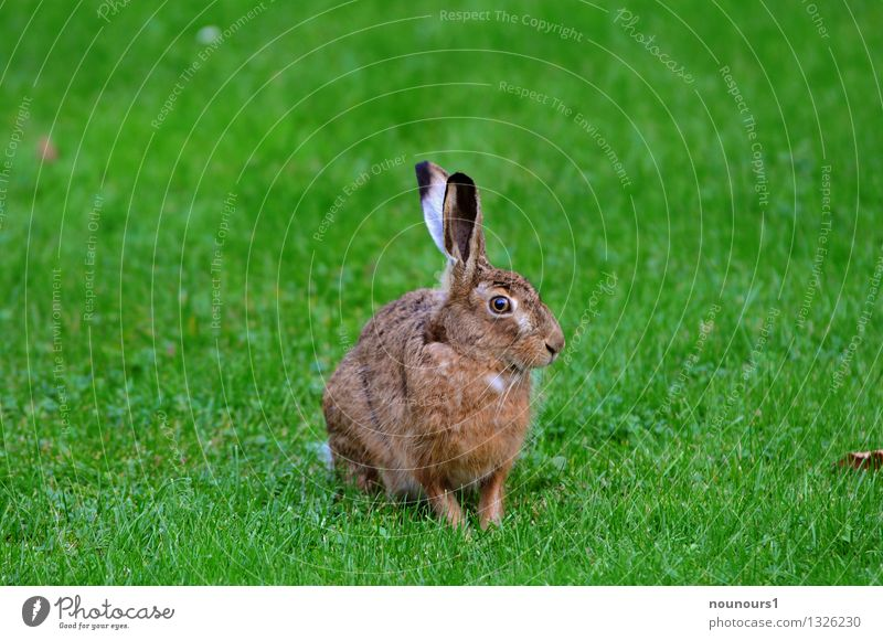 master lamp Animal Meadow Wild animal Pelt hare 1 Looking extinction threatened Field To feed Grass rabbit hobble Spoon nibble small game Mammal Colour photo