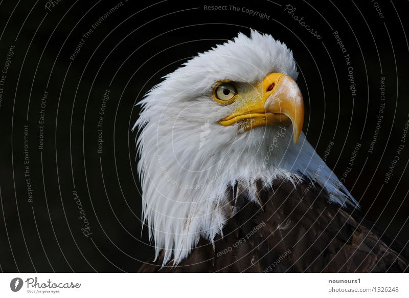 bald eagle Animal Wild animal Bird Animal face 1 Esthetic Eagle eagle eye Looking Bird of prey Beak White-tailed eagle Sharp Colour photo Exterior shot Detail