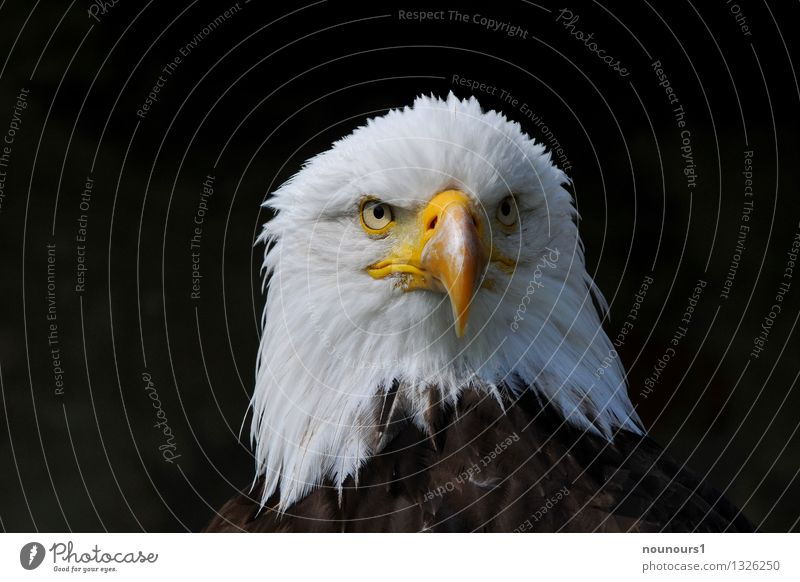 "strong Animal Wild animal Bird African fish eagle 1 Athletic Brown Yellow White Brave ""eagle eagle eye Eyes Looking plumage Bird of prey headshot portrait tart"