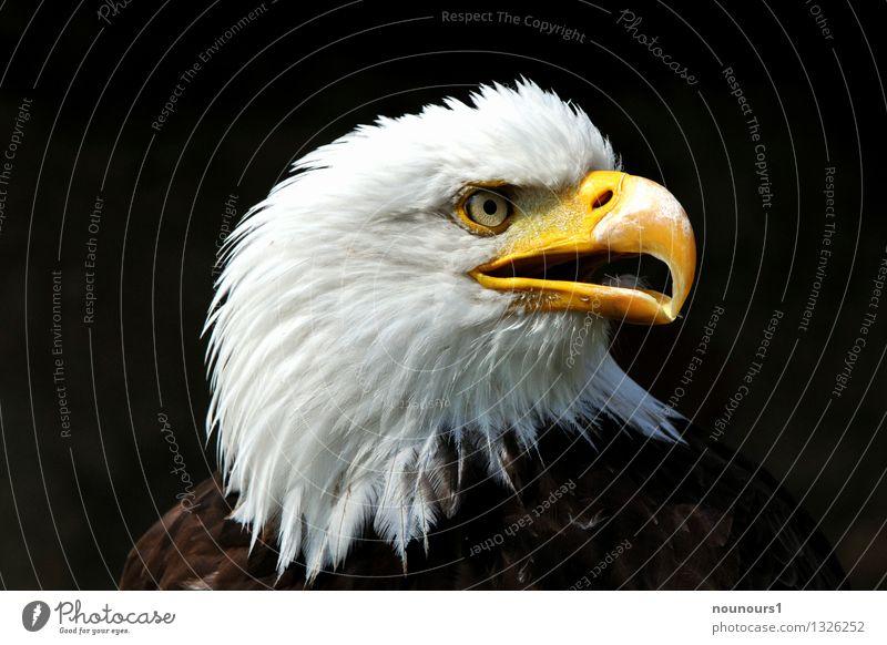 White Animal Yellow Bird Brown Wild animal Esthetic Animal face Scream Eagle Bird of prey