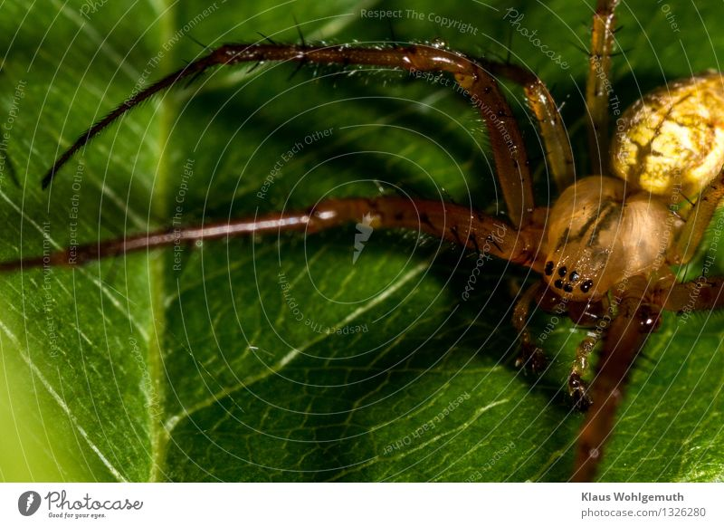 hungry eyes Environment Nature Animal Summer Autumn Plant Leaf Spider 1 Sit Wait Creepy Brown Yellow Green Black Colour photo Exterior shot Close-up Detail