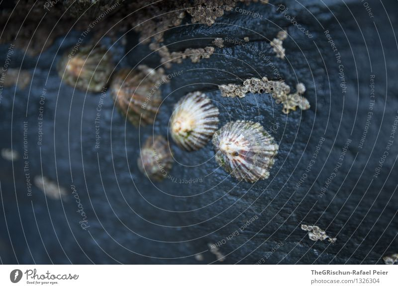 seashells Animal Group of animals Blue Gray Black White Ocean Mussel Pattern Structures and shapes Stone Damp Colour photo Exterior shot Close-up