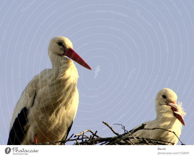 All the birds are here. Stork White Stork Nest Flat (apartment) Blue sky Poultry Bird Bushes Beak Birth Love Spring House Stork walking bird adebar long neck