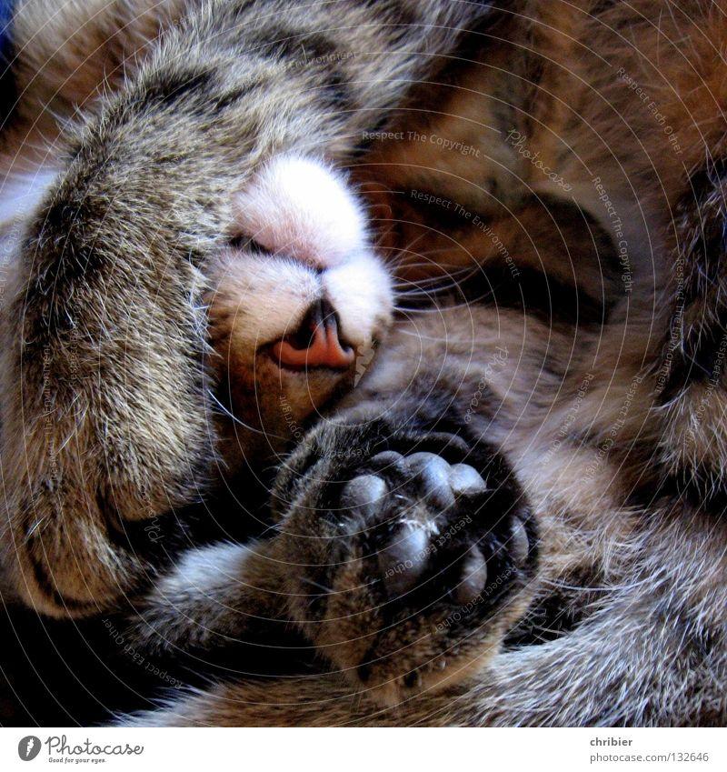 Cat Calm Relaxation Dream Nose Sleep Break Pelt Hunting Paw Mammal Domestic cat Velvet Purr Land-based carnivore Creep