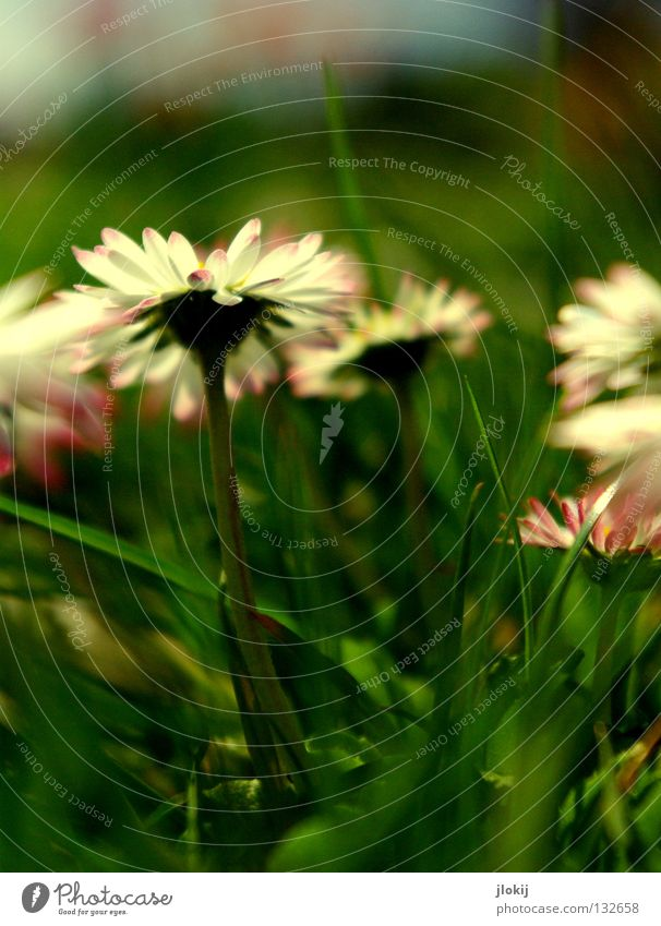 SPRING MESSENGERS Daisy Flower Plant Meadow Green Spring Summer Blossom Grass Blur White Background picture Nature Lovely Delicate Soft Worm's-eye view Small