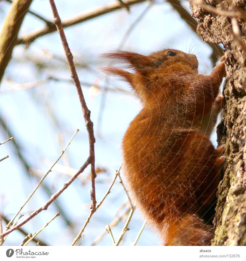 bobtailed Squirrel Oak tree Rodent Mammal Pelt Tails Bushy Button eyes Nutrition Forest Hair and hairstyles Paintbrush Sweet Cute Brown Paw Spring Tree Go up
