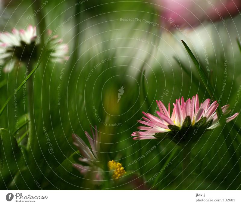flower fleece Daisy Flower Plant Meadow Green Spring Summer Blossom Grass Blur White Background picture Nature Lovely Delicate Soft Worm's-eye view Small Growth
