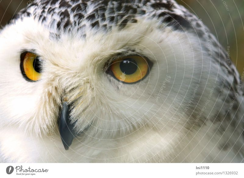 Snow Owl Nature Animal Park Wild animal Bird Animal face Zoo Bubo scandiacus 1 Observe Crouch Looking Esthetic Exceptional Exotic Fantastic Large Beautiful