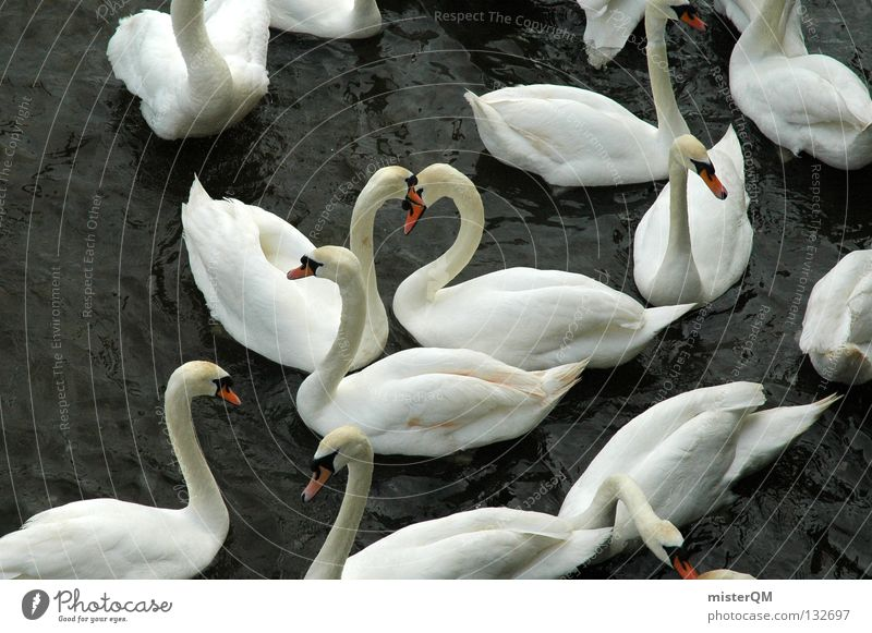 And Found. Swan White Dark Lake Love Beak Water Calm Pond Romance What Cripple Flirt Loyalty Symbols and metaphors Yin and Yang Bird Red Feather Relationship