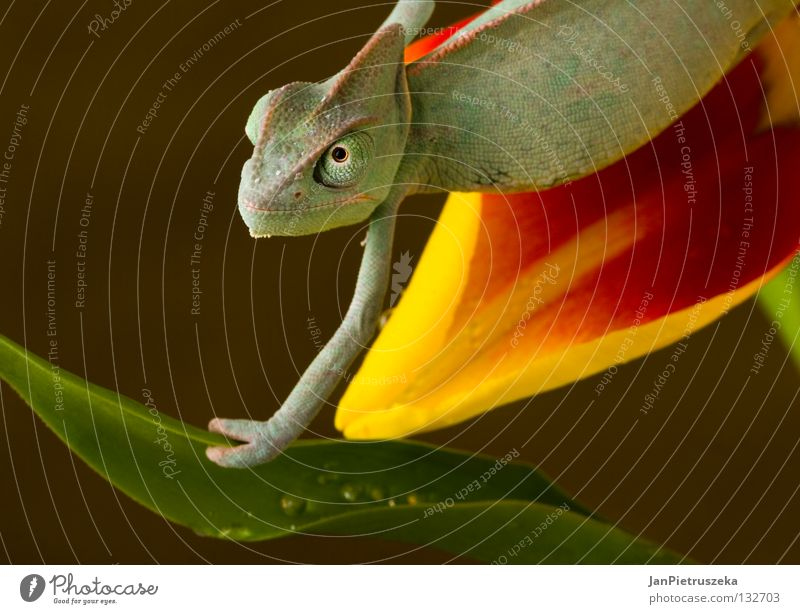 Chameleon on the tulip Lizard Reptiles Nature Yellow animal animals Dragon Descriptive Color Sticking Out Tongue Animal tongue Animal Eye Animal Themes