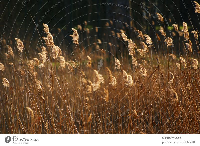 Nature Winter Grass Spring Warmth Coast Gold Physics Common Reed